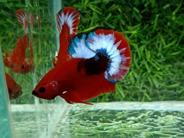 Cá Betta với màu sắc tuyệt đẹp