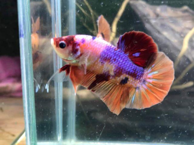 Một số loài cá Betta có màu sắc độc đáo