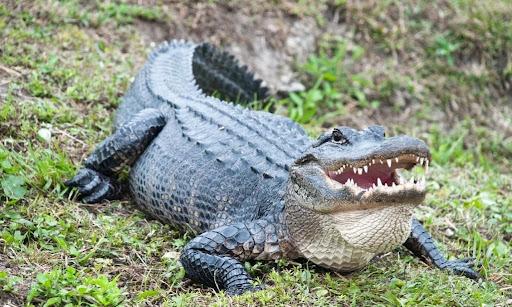 Nằm mơ thấy cá sấu